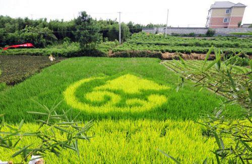 杭州彩色水稻种出稻田漫画